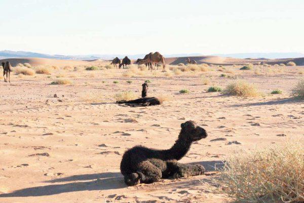 Baby camel in the Sahara desert