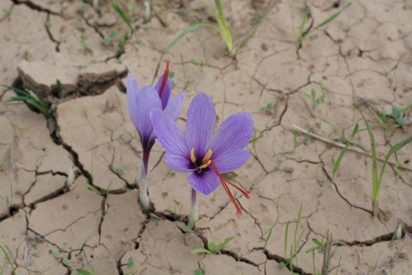 saffron in Morocco